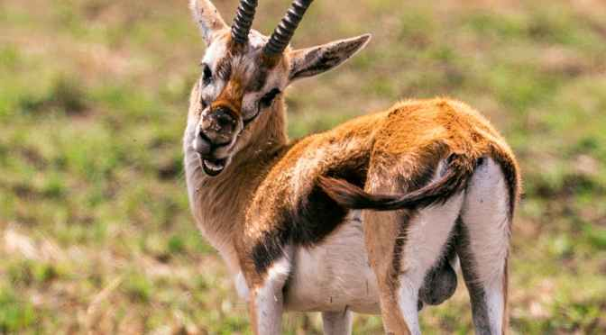 DREAM: Gazelles Warn of Danger